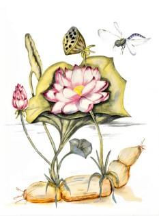 lotusbloem-met-wortel 1